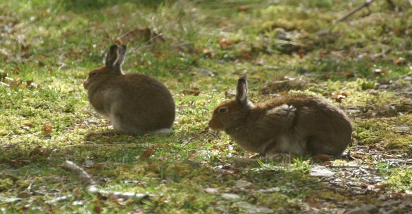 Hideaway Lodges Mull Mountain Hares